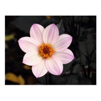 Cartão Postal Dália cor-de-rosa