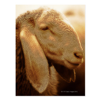 Cartão Postal Dolomites orelhudas longas dos carneiros, Italia