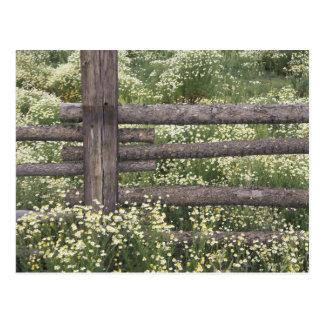 Cartão Postal EUA, Colorado, camomila selvagem em torno da cerca