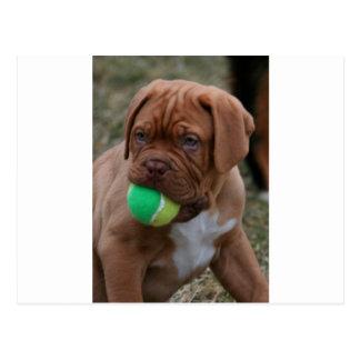 Cartão Postal Filhote de cachorro francês do Mastiff