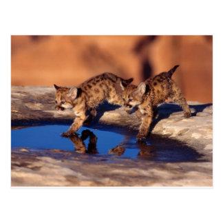 Cartão Postal filhotes gêmeos do puma