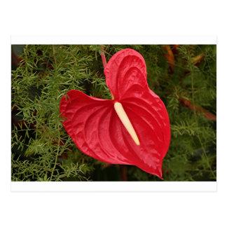 Cartão Postal Flor do antúrio na flor