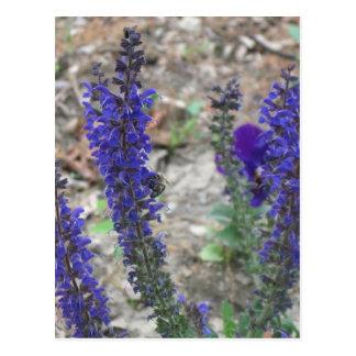 Cartão Postal Flor do ~ de Salvia primeira