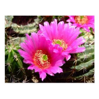 Cartão Postal Flores cor-de-rosa dos cacuts