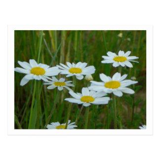 Cartão Postal Flores da camomila