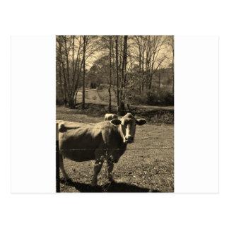 Cartão Postal Foto do tom do Sepia da vaca de Brown