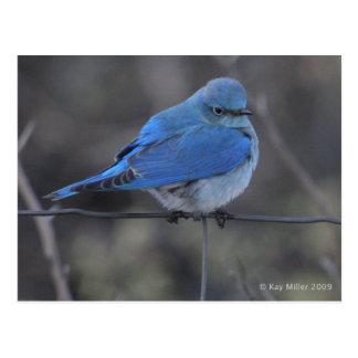 Cartão Postal Frio ocidental do Bluebird