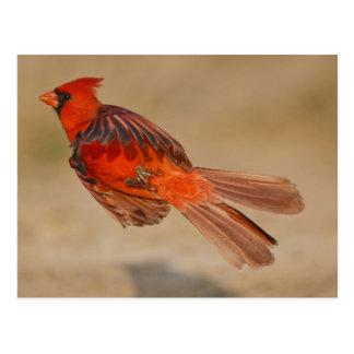 Cartão Postal Homem adulto cardinal do norte em vôo