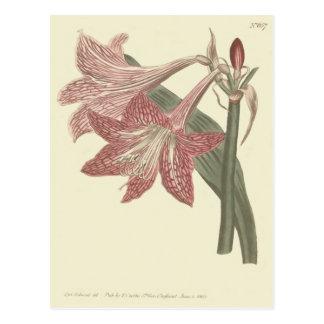 Cartão Postal Ilustração veada pescada rosa do Amaryllis