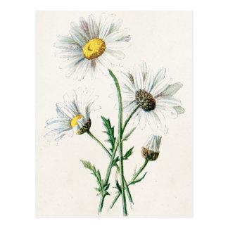 Cartão Postal Ilustração velha da flor selvagem das margaridas