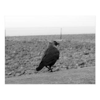 Cartão Postal Imagem do pássaro. Jackdaw.