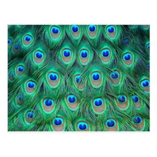 Cartão Postal impressão animal do pavão - penas