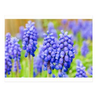 Cartão Postal Jacintos de uva azuis