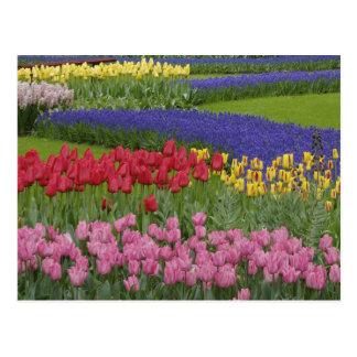 Cartão Postal Jardim das tulipas, jacinto de uva e