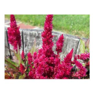 Cartão Postal Jardim rústico vermelho da cerca do Celosia