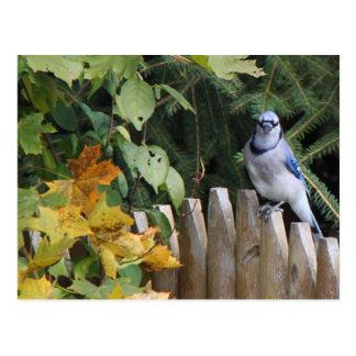 Cartão Postal Jay azul na cerca
