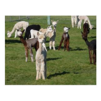 Cartão Postal Jovens da alpaca
