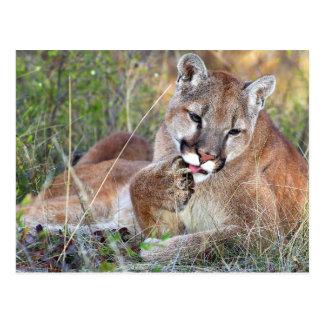 Cartão Postal Leão de montanha - Hmmm