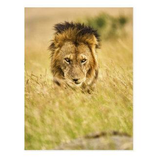 Cartão Postal Leão do homem adulto, Panthera leo, Masai Mara,