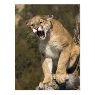 Cartão Postal Leão do puma ou de montanha, concolor do puma,