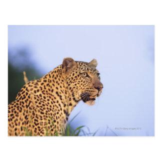 Cartão Postal Leopardo do homem adulto (pardus do Panthera),