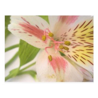 Cartão Postal Lírio amarelo e branco cor-de-rosa