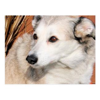Cartão Postal Lírio - híbrido ronco Photo-10 de Terrier