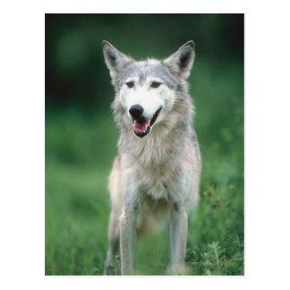 Cartão Postal Lobo cinzento 2