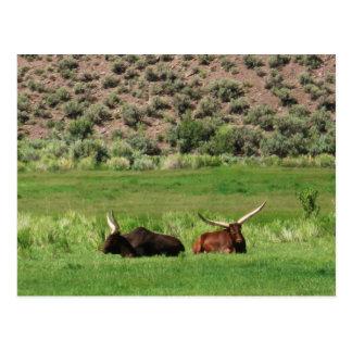 Cartão Postal Longhorns