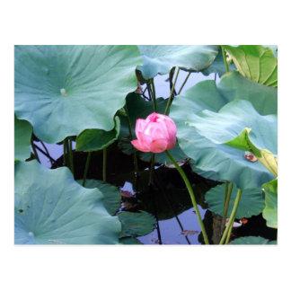 Cartão Postal Lotus aproximadamente à flor