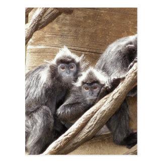 Cartão Postal macacos