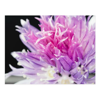 Cartão Postal Macro da flor do cebolinho