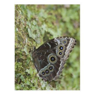 Cartão Postal Morpho azul, menelaus de Morpho, adulto