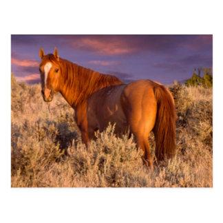 Cartão Postal O cavalo selvagem de Harney County está alerta