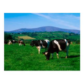 Cartão Postal O Holstein-Frisão acobarda-se perto de Borris,