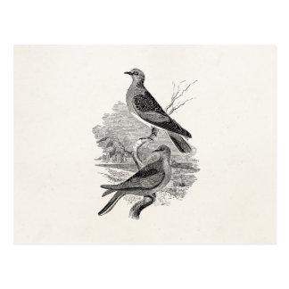 Cartão Postal O pássaro das pombas da tartaruga do vintage