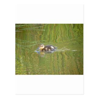 Cartão Postal Patinho da natação