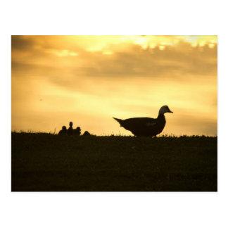 Cartão Postal Patinhos do pato e do bebê de Momma Muscovy no