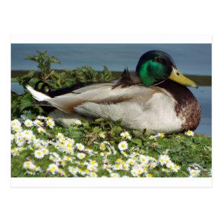 Cartão Postal Pato masculino do pato selvagem