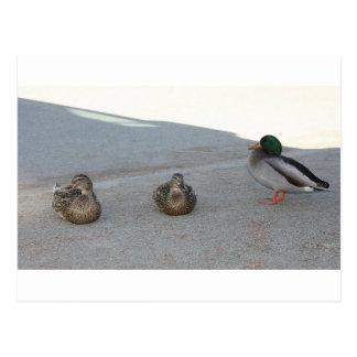 Cartão Postal Patos