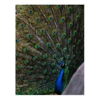Cartão Postal pavão