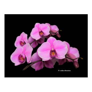 Cartão Postal Phalaenopsis cor-de-rosa elegante das orquídeas no
