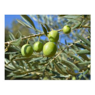 Cartão Postal Ramo de oliveira