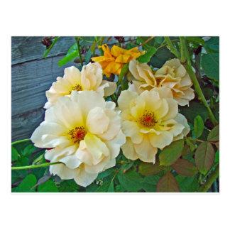 Cartão Postal Rosas amarelos