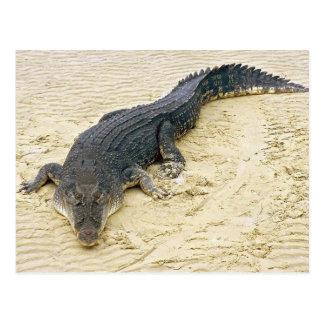 Cartão Postal Salt water crocodile (Crocodylus porosus)
