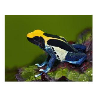 Cartão Postal Sapo brasileiro do dardo do cobalto, Dendrobates