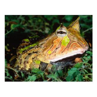 Cartão Postal Sapo do chifre de Surinam, cornuta de Ceratophrys,
