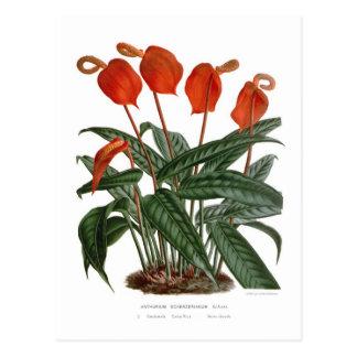 Cartão Postal Scherzerianum do antúrio