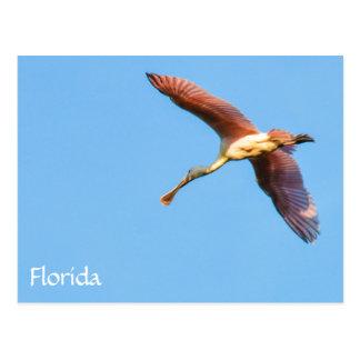 Cartão Postal Spoonbill de Florida do vôo