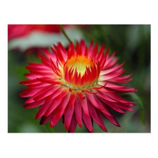 Cartão Postal Strawflower (bracteatum de Xerochrysum)